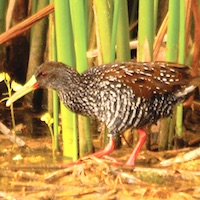 Spotted Rail in Jamaica; photo by Wolde-Kristos
