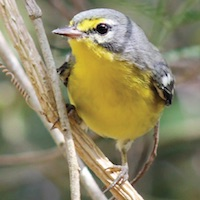 Adelaide's Warbler, in the US Virgin Islands; photo by Sean Rune
