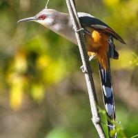 Hispaniolan Lizard-Cuckoo perched; photo by Jose M Pantaleon