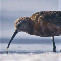 Curlew Sandpiper, foraging in Guadeloupe; photo by Anthony Levesque