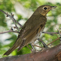 Swainson's Thrush, in the Dominican Republic; photo by Miguel A. Landestoy