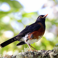 La Selle Thrush, an endemic of Hispaniola; photo by Rafael Arvelo