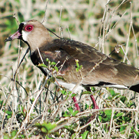 Southern Lapwing in tall grass; photo by Carel P. de Haseth