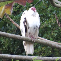 Leucistic Turkey Vulture (Cathartes aura) in Jamaica; photo by Justin Proctor
