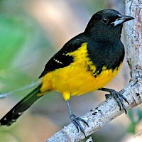 Bahama Oriole, an endemic of the archipelago; photo by D. Belasco