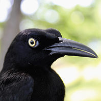 Carib Grackle, up close; photo by Leticia Soares