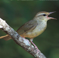 Swainson's Warbler vocalizing; photo by Gary Graves/Justin Proctor