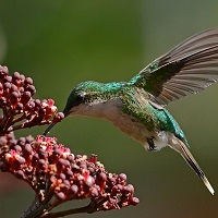 Puerto Rican Emerald (female), feeding; photo by Engie