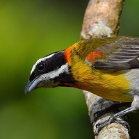 Puerto Rican Spindalis, commonly known as the Striped-headed Tanager; photo by Ernesto Burgos