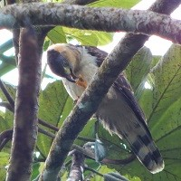 Grenada Hook-billed Kite, feeding at Grand Etang National Park; photo by Zoya Buckmire