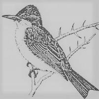 Artist's rendering of Grey Kingbird (Tyrannus dominicensis)