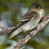 Eastern Wood-Pewee, perched; photo by Pedro G. Rodriguez