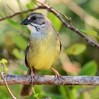 Zapata Sparrow, endemic to Cuba; photo by Kenneth Butler