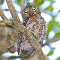 Cuban Pygmy Owl, perched and peering down; photo by Rafy Rodriguez