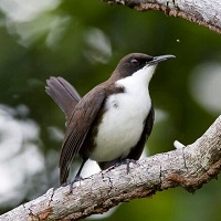 White-breasted Thrasher, endemic to St. Lucia and Martinique; photo by Adam Toussaint