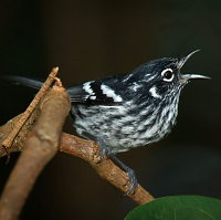 Elfin-woods Warbler, a Puerto Rican endemic; photo by Gloria Achilla
