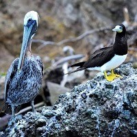 Brown Pelican and Brown Booby on offshore island; photo by Juliana Coffey