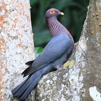 Scaly-naped Pigeon perched between branches; photo by Charles D. Peters