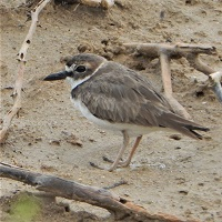Wilson's Plover in Cabo Rojo, Puerto Rico; photo by Zoya Buckmire