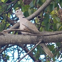 Eurasian Collared Dove on Carriacou; photo by Amonie Holas