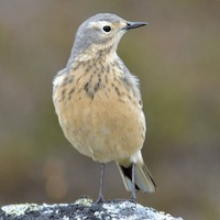 American Pipit in Cuba; photo by Michael J. Good