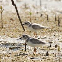 Piping Plovers among mangroves; photo by David Jones