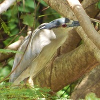 Black-crowned Night Heron in Grenada; photo by Zoya Buckmire