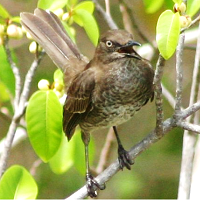 Scaly-breasted Thrasher on Mustique, St. Vincent; photo by M. R. Paice
