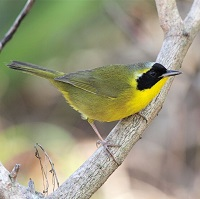 Bahama Yellowthroat (male), an endemic warbler; photo by Bruce Hallett