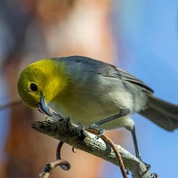 Yellow-headed Warbler perched; photo by Aslam Castellon