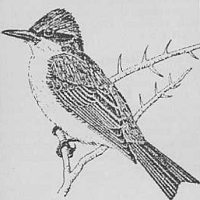Artist's rendering of Grey Kingbird (Tyrannus dominicensis)