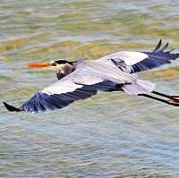 Great Blue Heron in flight; photo by Juliana Coffey