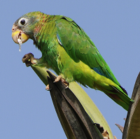 Endemic Yellow-billed Parrot, also called the Jamaican Amazon; photo by Claude Fletcher
