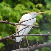 Cattle Egret in breeding plumage; photo by Zoya Buckmire