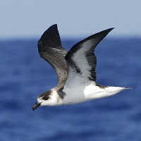 Black-capped Petrel in flight; photo by David Hollie