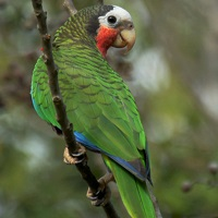 Endemic Cuban Parrot perched, posterior view; photo by Dave Irving