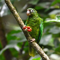 Puerto Rican Parrot eating fruit; photo by Tanya Martinez