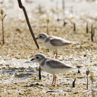 Piping Plovers among mangroves; photo by David Jones