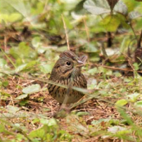Lincoln's Sparrow in the Dominican Republic; photo by Robert Ortiz.